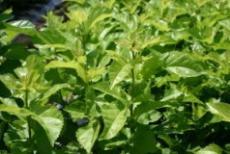 熊本県産の桑の葉